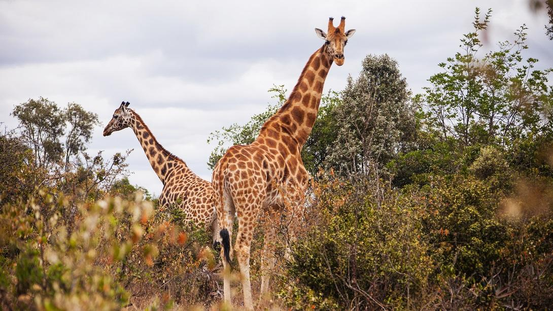Giraffes spotted in the wild at the Giraffe Centre in Nairobi.